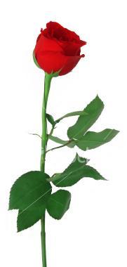 rose-border